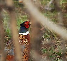 Pheasant - Peek-a-Boo by Ryan Houston