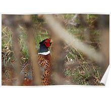 Pheasant - Peek-a-Boo Poster