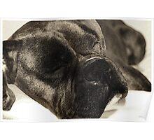 Dark brindle boxer in dreamland Poster