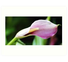 Opening Calla Lilly Art Print