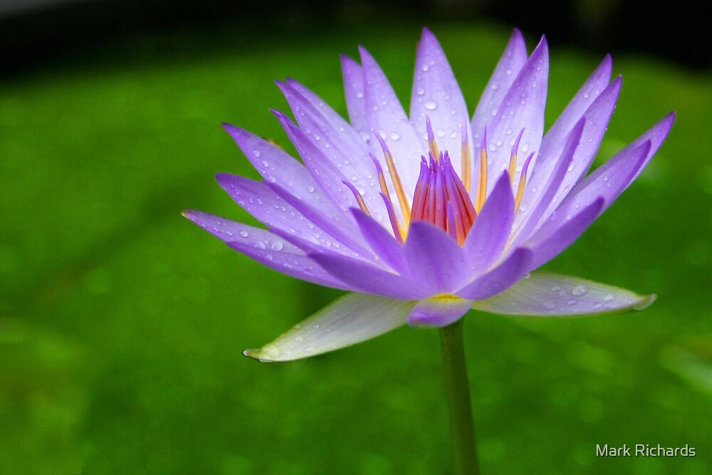 Blue Water Lily - Sydney Royal Botanic Gardens, NSW by Mark Richards