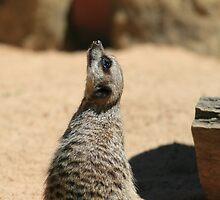 Meerkat Watching Plane by Charles Fortin