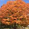 MARCH AVATAR ~ A Favorite Tree Image