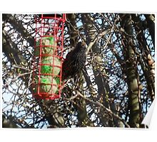 Starlings Suppertime Poster