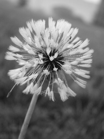 Dandelion in B&W by James Wheeler