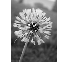 Dandelion in B&W Photographic Print