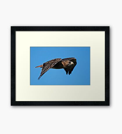 Red-tailed Hawk - Amherst Island, Ontario Framed Print