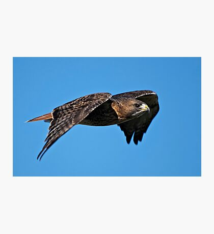 Red-tailed Hawk - Amherst Island, Ontario Photographic Print