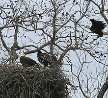 Eagles and Eaglet by jaypat