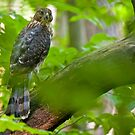 Juvenile Cooper's Hawk - Ottawa, Ontario by Michael Cummings