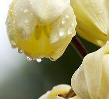 White Flower Droplets by JimFilmer