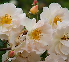 Grossman Rose by Catherine Davis