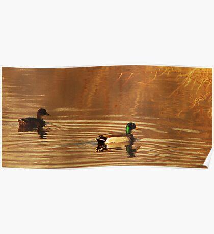 Mallard Drake & Hen - Golden Hour Poster