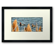 Redhead Drake & Hen - Utah Waterfowl Framed Print