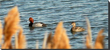 Redhead Drake & Hen - Utah Waterfowl by Ryan Houston