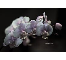 ORCHID BEAUTIES  Photographic Print
