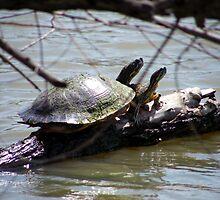 turtles on willow by Brenda Loveless