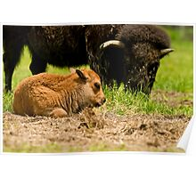 Bison And Calf Poster