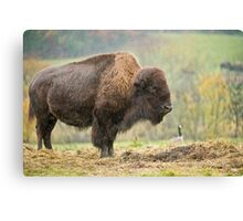 Bison In Rain Canvas Print