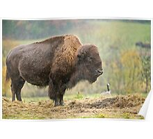 Bison In Rain Poster