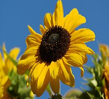 Sunflower Blue Sky by Happystiltskin