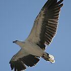 Sea Eagle by JCRPhotos