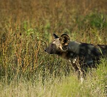 Wild Dog in Grass by Gerry Van der Walt