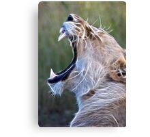 Female Lion Yawn - Enhanced Canvas Print