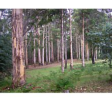 Beautiful cluster of Karri Trees Photographic Print
