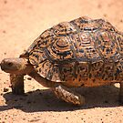 LEOPARD TORTOISE - Geochelone pardalis by Magaret Meintjes