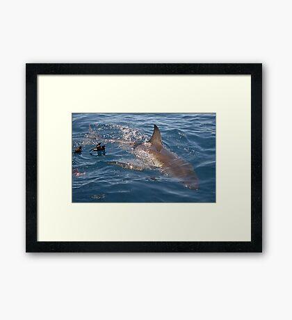 The beautiful Great White Shark Framed Print