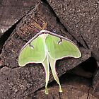 Luna Moth revisted by Jamaboop