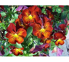 Array of Pansies Photographic Print