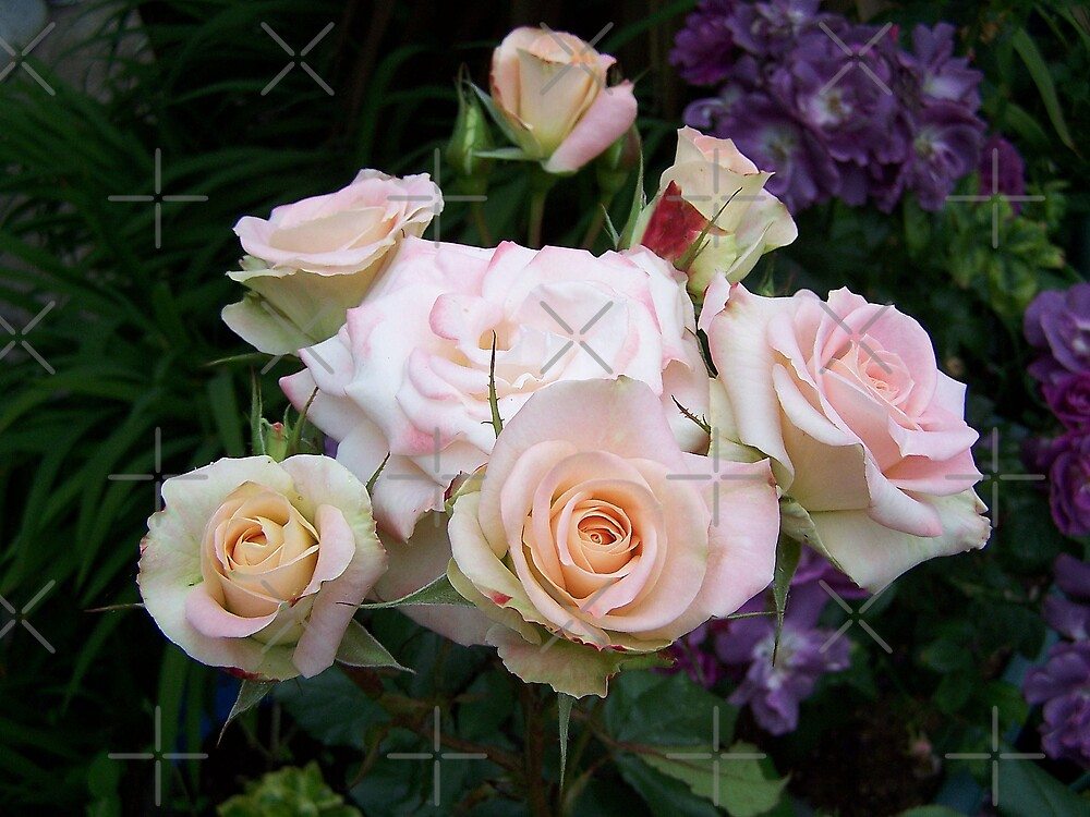Palest of Pink Roses by LoneAngel