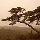 Akamatsu pine by Melanie  McQuoid