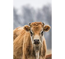 Cow 1 Photographic Print