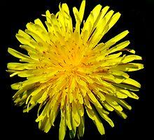 A Dandy Dandelion by Smaxi
