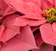 Christmas Greetings with a Vivacious Pink Poinsettia Sticker