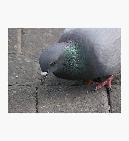 Pigeon* Photographic Print