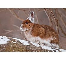 Snow Shoe Hare  Photographic Print