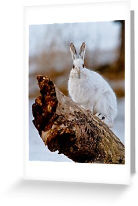 Snowshoe Hare by Michael Cummings