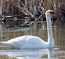 Swans in Winter 1 by srosu