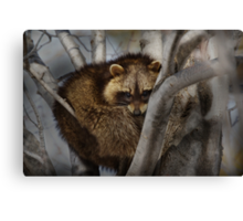 Raccoon in Tree Canvas Print