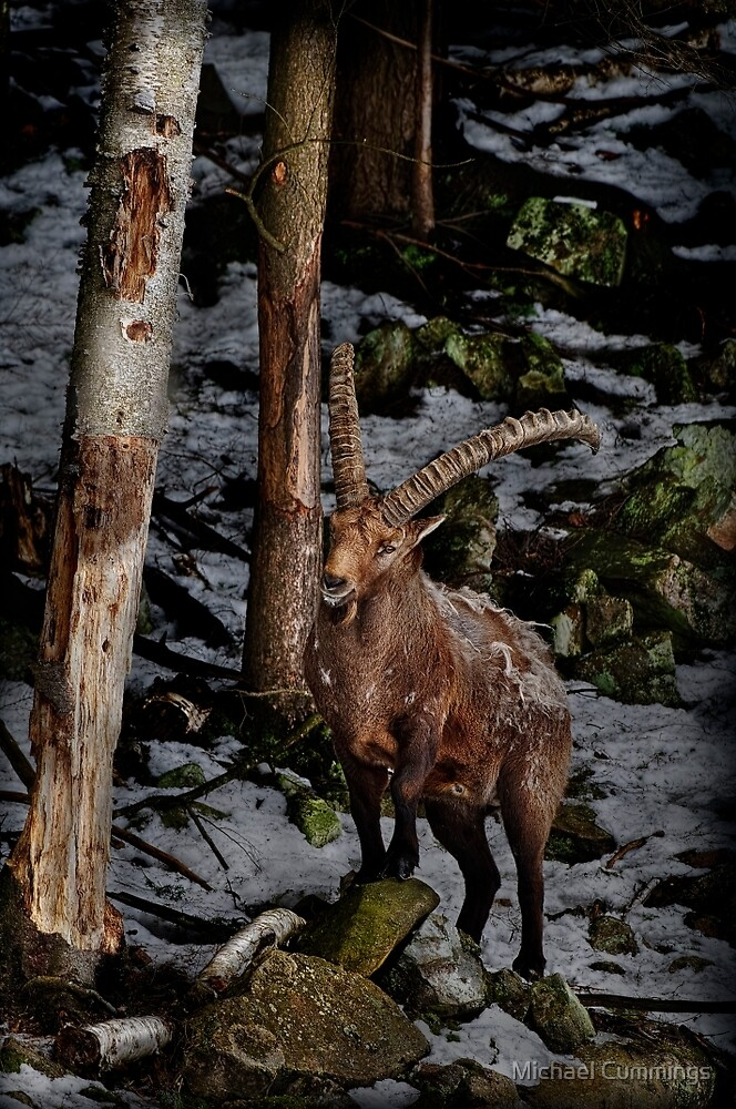 Ibex on Hill by Michael Cummings