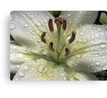 Immaculate - Lily With Raindrops Canvas Print