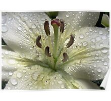 Immaculate - Lily With Raindrops Poster