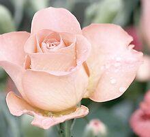 Shabby Chic Rose by KarenMcWhirter
