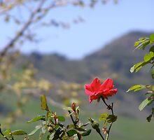 Wild Rose of California by Anita Donohoe