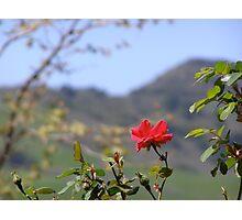 Wild Rose of California Photographic Print