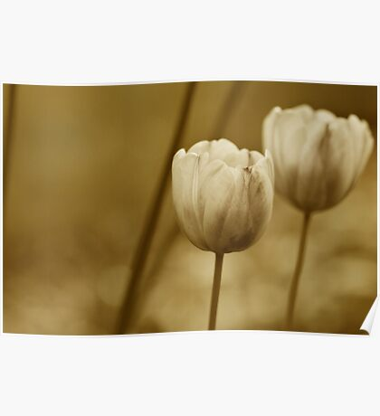 Tulips-Sepia Poster